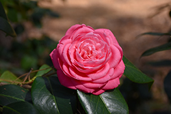 Japanese Camellia (Camellia japonica) at Martin's Home and Garden