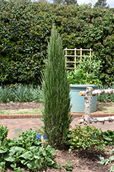 Blue Arrow Juniper (Juniperus scopulorum 'Blue Arrow') at Martin's Home & Garden