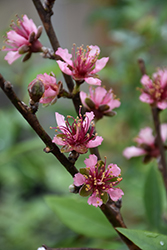 Red Gold Nectarine (Prunus persica 'Red Gold') at Martin's Home & Garden