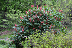 Red Buckeye (Aesculus pavia) at Martin's Home and Garden