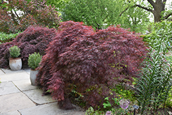 Crimson Queen Japanese Maple (Acer palmatum 'Crimson Queen') at Martin's Home & Garden