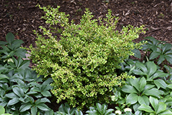 Golden Dream Boxwood (Buxus microphylla 'Peergold') at Martin's Home & Garden