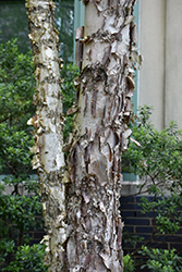 Dura Heat River Birch (Betula nigra 'Dura Heat') at Martin's Home and Garden