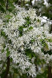 Chinese Fringetree (Chionanthus retusus) at Martin's Home and Garden