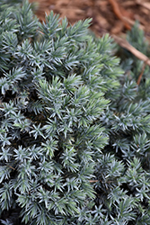 Blue Star Juniper (Juniperus squamata 'Blue Star') at Martin's Home and Garden