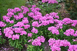 Pink Flame Garden Phlox (Phlox paniculata 'Pink Flame') at Martin's Home and Garden
