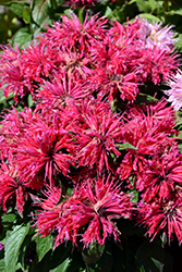 Cherry Pops Beebalm (Monarda 'Cherry Pops') at Martin's Home and Garden