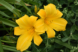 Buttered Popcorn Daylily (Hemerocallis 'Buttered Popcorn') at Martin's Home and Garden