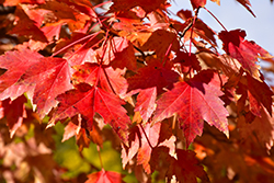 Sun Valley Red Maple (Acer rubrum 'Sun Valley') at Martin's Home & Garden