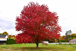 Red Maple (Acer rubrum) at Martin's Home & Garden