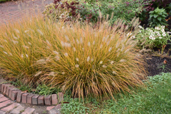 Hameln Dwarf Fountain Grass (Pennisetum alopecuroides 'Hameln') at Martin's Home and Garden