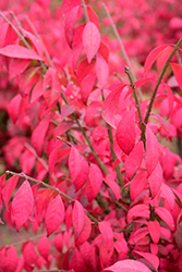 Cole's Compact Burning Bush (Euonymus alatus 'Cole's Compact') at Martin's Home & Garden