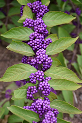 Purple Beautyberry (Callicarpa dichotoma) at Martin's Home & Garden