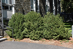 Green Mountain Boxwood (Buxus 'Green Mountain') at Martin's Home and Garden