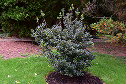 False Holly (Osmanthus heterophyllus) at Martin's Home & Garden