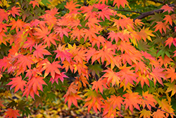 Japanese Maple (Acer palmatum) at Martin's Home and Garden