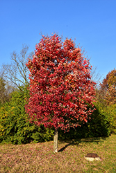 Autumn Flame Red Maple (Acer rubrum 'Autumn Flame') at Martin's Home & Garden