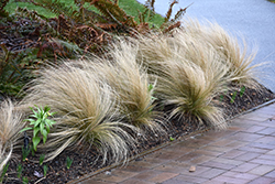 Mexican Feather Grass (Nassella tenuissima) at Martin's Home & Garden