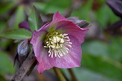 Red Lady Hellebore (Helleborus 'Red Lady') at Martin's Home & Garden
