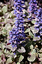 Burgundy Glow Bugleweed (Ajuga reptans 'Burgundy Glow') at Martin's Home and Garden