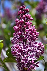 Sensation Lilac (Syringa vulgaris 'Sensation') at Martin's Home & Garden
