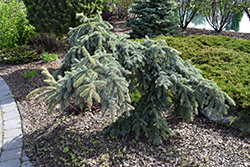 Weeping Blue Spruce (Picea pungens 'Pendula') at Martin's Home and Garden