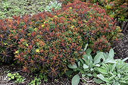 Bonfire Cushion Spurge (Euphorbia polychroma 'Bonfire') at Martin's Home & Garden