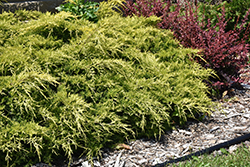 Gold Lace Juniper (Juniperus x media 'Gold Lace') at Martin's Home & Garden