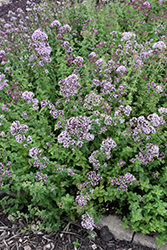Oregano (Origanum vulgare) at Martin's Home & Garden