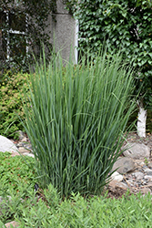 Northwind Switch Grass (Panicum virgatum 'Northwind') at Martin's Home & Garden