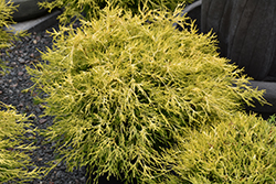 Golden Charm Falsecypress (Chamaecyparis pisifera 'Golden Charm') at Martin's Home & Garden