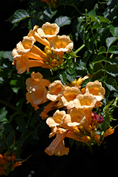 Yellow Trumpetvine (Campsis radicans 'Flava') at Martin's Home and Garden
