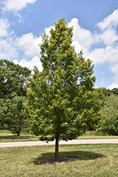 Sawtooth Oak (Quercus acutissima) at Martin's Home and Garden