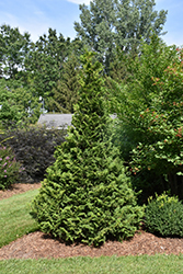 Soft Serve® Falsecypress (Chamaecyparis pisifera 'Dow Whiting') at Martin's Home & Garden