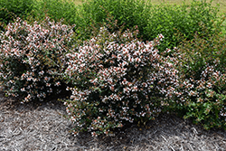 Ruby Anniversary™ Abelia (Abelia chinensis 'Keiser') at Martin's Home and Garden
