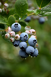 Duke Blueberry (Vaccinium corymbosum 'Duke') at Martin's Home & Garden