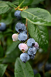 Blue Jay Blueberry (Vaccinium corymbosum 'Blue Jay') at Martin's Home and Garden