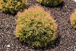 Fire Chief™ Arborvitae (Thuja occidentalis 'Congabe') at Martin's Home and Garden