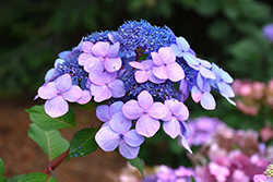 Twist-n-Shout® Hydrangea (Hydrangea macrophylla 'PIIHM-I') at Martin's Home and Garden