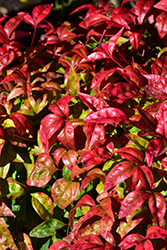 Fire Power Nandina (Nandina domestica 'Fire Power') at Martin's Home and Garden