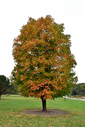 Sugar Maple (Acer saccharum) at Martin's Home & Garden