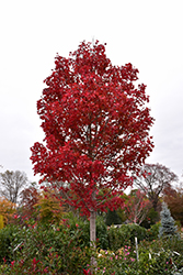 October Glory Red Maple (Acer rubrum 'October Glory') at Martin's Home & Garden