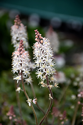Pink Skyrocket Foamflower (Tiarella 'Pink Skyrocket') at Martin's Home and Garden