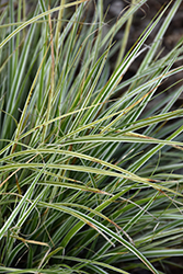 EverColor® Everest Japanese Sedge (Carex oshimensis 'Carfit01') at Martin's Home & Garden