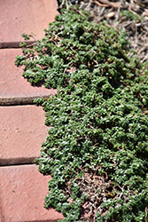 Elfin Creeping Thyme (Thymus praecox 'Elfin') at Martin's Home and Garden