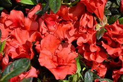 Encore® Autumn Embers™ Azalea (Rhododendron 'Conleb') at Martin's Home and Garden