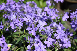 Blue Moon Phlox (Phlox divaricata 'Blue Moon') at Martin's Home & Garden