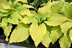 Dancing Queen Hosta (Hosta 'Dancing Queen') at Martin's Home & Garden