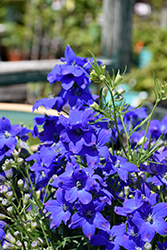 Diamonds Blue Delphinium (Delphinium grandiflorum 'Diamonds Blue') at Martin's Home & Garden
