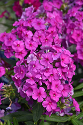 Purple Flame Garden Phlox (Phlox paniculata 'Purple Flame') at Martin's Home & Garden